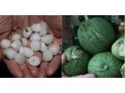 新疆部分地区遭冰雹袭击 农作物大片受损