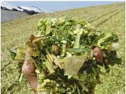 融合最新Shredlage揉丝技术——科乐收(CLAAS) JAGUAR系列青贮收获机