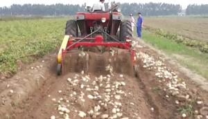 璞盛4UX-180馬鈴薯收獲機收獲現場