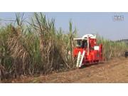 廣東科利亞4GZ-91型切段式甘蔗聯合收割機作業視頻